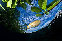 broadclub cuttlefish, Sepia latimanus, baby, sheltering among red mangrove prop roots, Rhizophora mangle, Raja Ampat, Irian Jaya, West Papua, Indonesia, Indo-Pacific Ocean