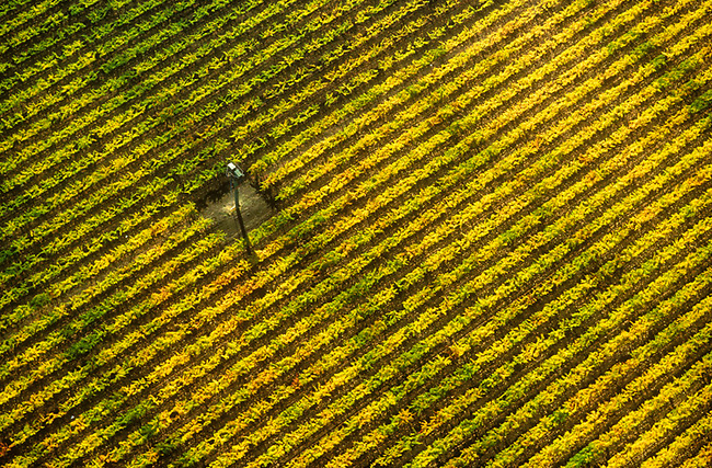 Aerial of fall vineyard near Yountville