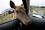 Deer sticking his head inside a car and looking very expectant.  Very funny scene.  Actually hilarious.  Close Fisheye lens perspective adds to the humor.  The deer is actually begging for food through the open car window in a surprise visit.