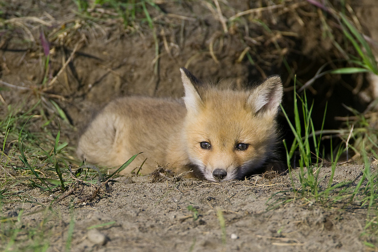 Red Fox Kit laying at the entrance to its den