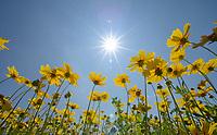 Greenthread (Thelesperma filifolium), wildflower field, Floresville, Texas, USA