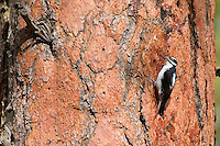 Hairy Woodpecker (Picoides villosus) on side of ponderosa pine tree.  Western U.S.