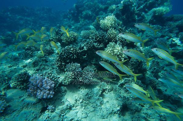 Tropical Fish, adult, Sharm El Sheik, Red Sea, Egypt, Oktober 1997