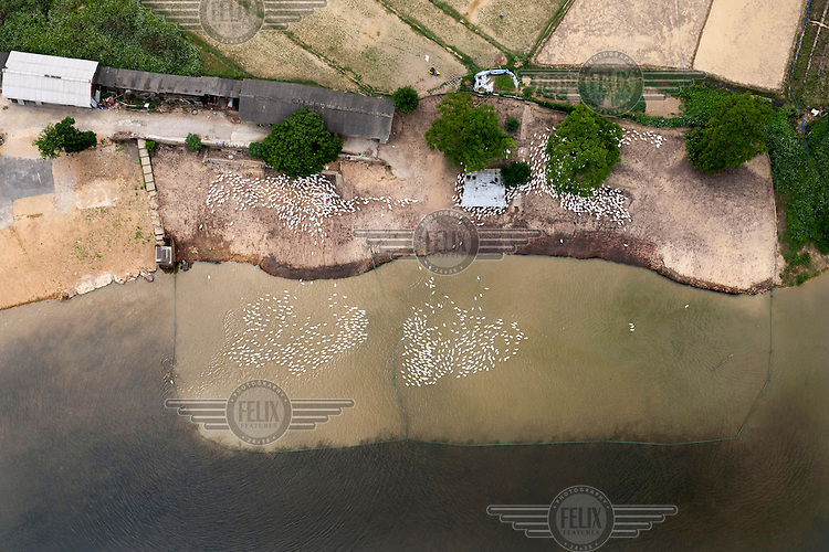 Ducks in and out of the water at a farm on the Yongjiang River near Nanning. /Felix Features