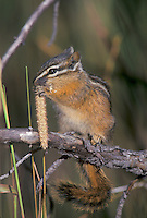 Yellowpine Chipmunk eating seeds, Yellowstone National Park, Wyoming