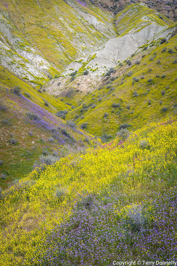Carrizo Plain National Monument, California:<br /> Folded hills of the Temblor Range covered in purple and golds of wildflowers