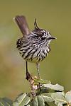 Tufted Tit-Tyrant (Anairetes parulus) perched, Ecuador.
