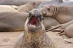 Molting bull elephant seal