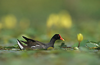Common Moorhen, Gallinula chloropus, adult with Yellow Water Lily, Welder Wildlife Refuge, Sinton, Texas, USA, May 2005