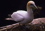 Northern Gannet, Canada (Vulnerable)