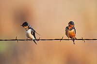 Barn Swallow (Hirundo rustica), pair on barbed wire,  Sinton, Corpus Christi, Coastal Bend, Texas, USA