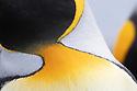 Close up of feathers of King Penguin (Mirounga leonina) Salisbury Plane, South Georgia. November.
