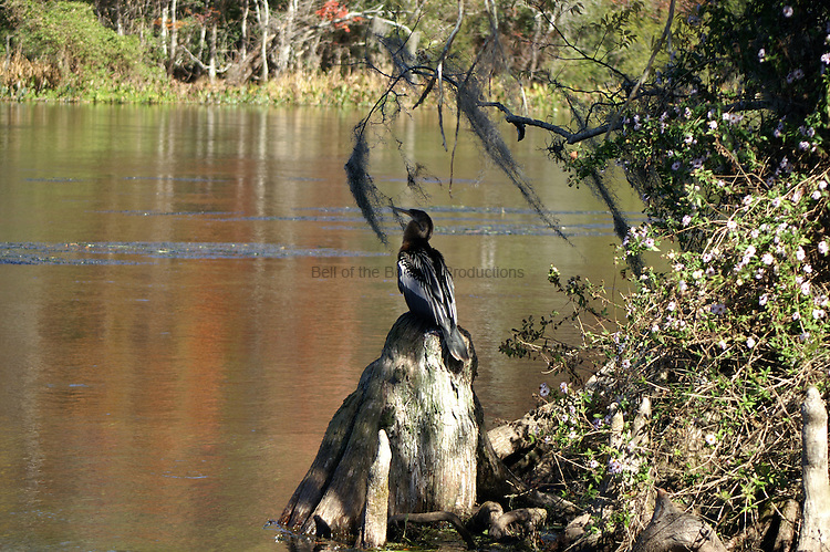 An Anhinga sits on a cypress knee as his feathers dry.