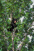 Black Bear cub eating catkins in cottonwood tree. Summer.  .Jasper National Park, Alberta, Canada..Rocky Mountains. (Ursus americanus).