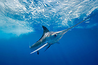 white marlin, Kajikia albidus (formerly Kajikia albida), Yucatan Peninsula, Mexico, Caribbean Sea, Atlantic Ocean