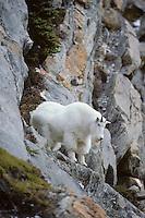 Male mountain goat (Oreamnos americanus), Fall.  Northern Rockies.