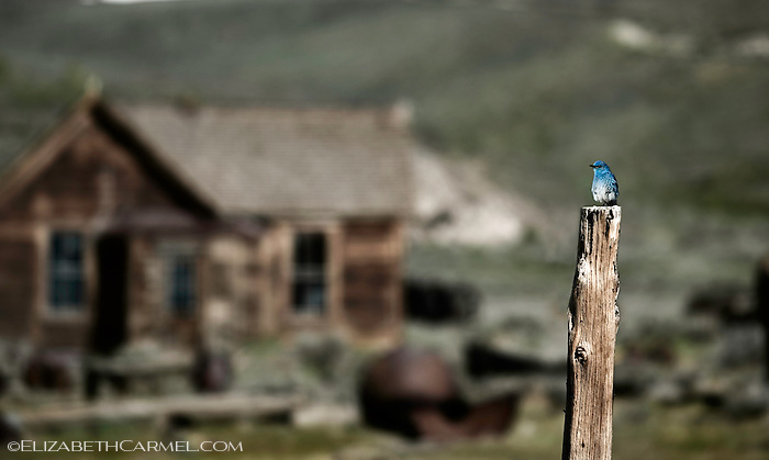 Bodie Bluebird