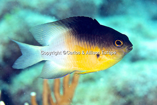 Stegastes partitus, Bicolor damselfish, Florida Keys