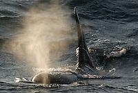 Orca, Norway