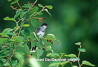 01254-00717 Eastern Kingbird (Tyrannus tyrannus) in Shadblow Serviceberry (Amelanchier canadensis) Marion Co. IL