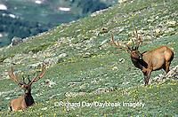 01980-021.14 Elk (Cervus elaphus) bulls Rocky Mtn NP   CO