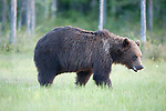European Brown Bear, Ursus arctos arctos, Kuhmo, Finland, Lentiira, Vartius near Russian Border, foraging at edge of forest, marshland