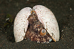 Coconut octopus or the veined octopus (Octopus marginatus) in its shell home.