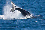 Anacapa Island, Channel Islands National Park and National Marine Sanctuary, California; Humpback Whale (Megaptera novaeangliae) tail slapping at the water's surface, also known as a peduncle slap , Copyright © Matthew Meier, matthewmeierphoto.com All Rights Reserved