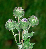 GREATER BURDOCK Arctium lappa (Asteraceae) Height to 1m. Branched and downy biennial of hedgerows, woodland rides, verges and waste ground. FLOWERS are borne in egg-shaped heads, 20-40mm across, with purplish florets and greenish yellow, hooked and spiny bracts; carried in few-flowered inflorescences (Jul-Sep). FRUITS are burs, armed with hooked spines (flower bracts) that cling to animal fur and aid dispersal. LEAVES are heart-shaped with solid stalks; basal leaves are longer than wide. STATUS-Locally common in England and Wales; scarce elsewhere.