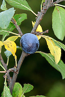 Bullace Prunus domestica ssp. Institia. Similar to Blackthorn Prunus spinosa but is spineless, with larger fruits.