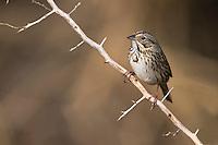 Lincoln's Sparrow (Melospiza lincolnii lincolnii) in a thorn bush Bentsen-Rio Grande Valley State Park in Mission, Texas.