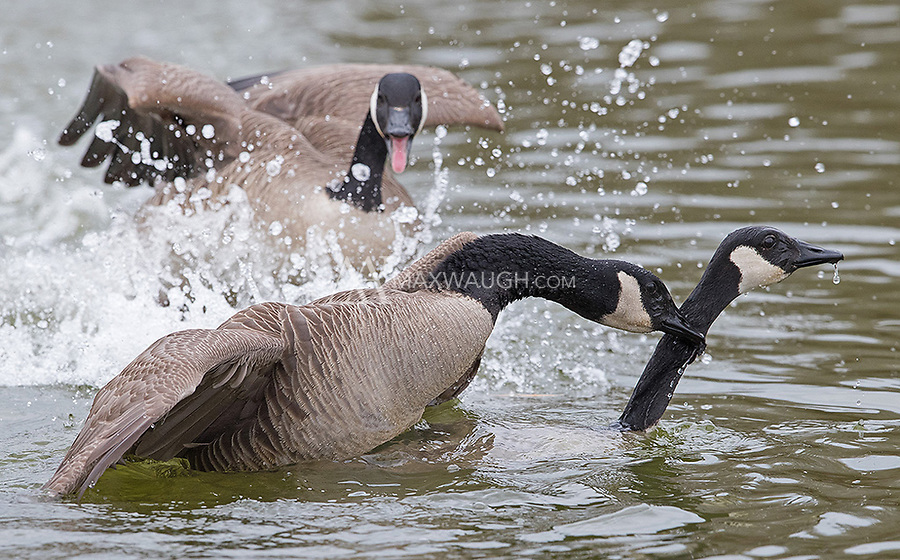 There was some aggressive behavior on display during the goose courtship.  A rival tries to interrupt breeding by barging in and chasing off this male.