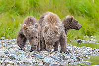 Alaska Peninsula brown bear, grizzly bear, Ursus arctos horribilis, cubs, Katmai National Park and Preserve, Alaska, USA