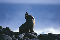 Sealions abound in the Galapagos Islands. This one is drawing attention to itself by barking furiously and sitting as prominently as possible on the rocks at the edge of the ocean.