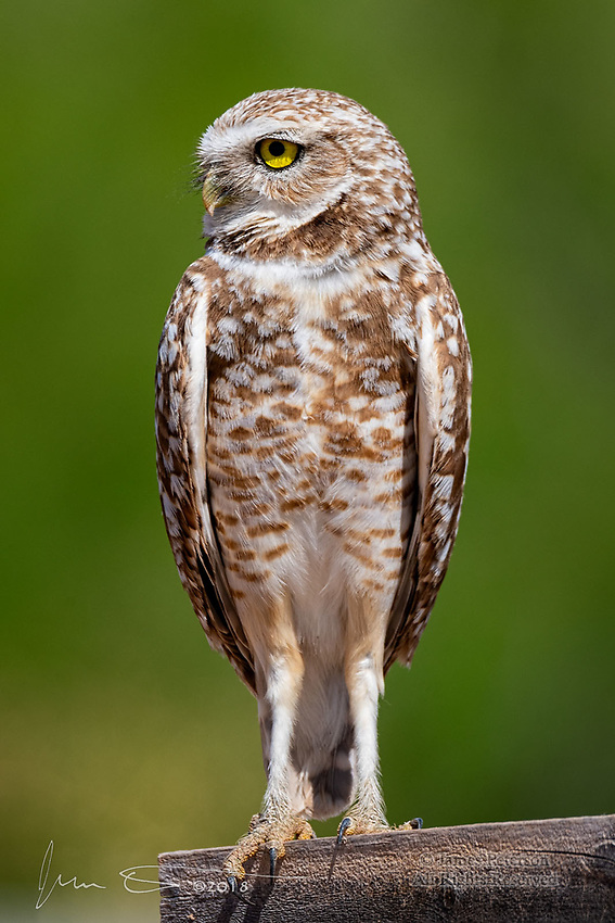 Burrowing Owl, Gilbert, Arizona ©2018 James D Peterson