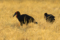 Southern ground hornbills (bocorvus leadbeateri) taking a walkabout in the grass looking for mice, insects, reptiles, frogs and other things to eat.<br />