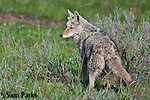 Coyote. Yellowstone National Park, Wyoming.