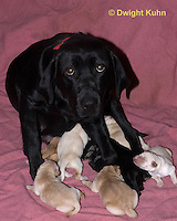 SH36-540z Black Lab Mother and new born litter. Genetic variation of black, yellow and white puppies, Labrador Retriever.