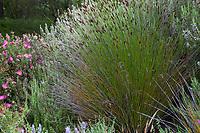 Elegia tectorum, Small Cape Rush in Blake Garden, aka Chondropetalum tectorum or Restio tectorum
