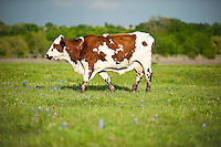 A cow grazes as blue bonnets grow in a ranch outside of Crawford, Texas, US, Wednesday, April 14, 2010. The town was nicknamed the Western White House by President George W. Bush because of frequent visits and his ranch...PHOTO/ MATT NAGER