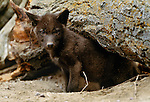 Eight week old wolf pup, Montana