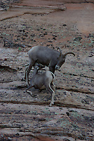 Desert Big Horn sheep seen in Zion National Park, southern Utah. See the ewe feed the Lamb.