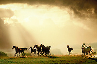 Arabian mares and foals galloping over rise backlit by sun rays beaming through clouds.