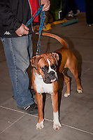 Owner with a Boxer holding it's lead, at the international dog show in Prague, May 2014.