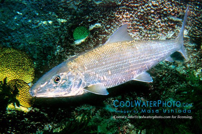 bonefish (c), .Albula vulpes, .Islamorada, Florida (Atlantic).