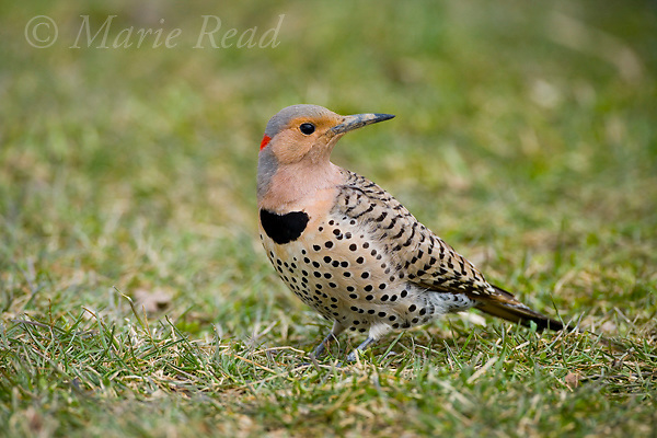Northern Flicker (Colaptes auratus), yellow-shafted form, female foraging on lawn, New York, USA. Flickers are the only North American woodpeckers to forage consistently on the ground, where they dig for ants and other invertebrates.