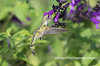 01162-15110 Ruby-throated Hummingbird (Archilochus colubris) at Amistad Salvia (Salvia amistad) in Marion County, IL