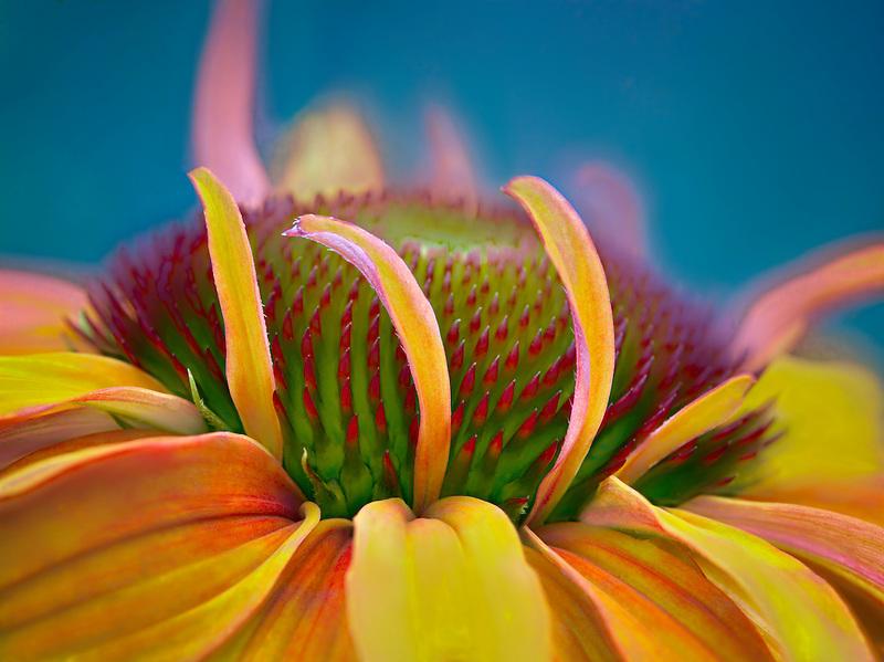 Close up of Echinacea. Hot Lava