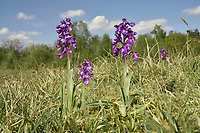 Green-winged Orchid - Anacamptis morio
