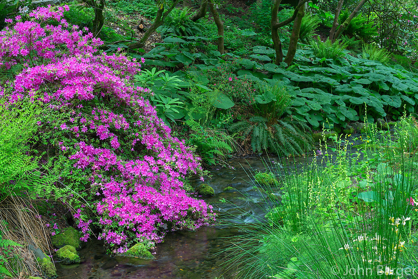 ORPTC_D101 - USA, Oregon, Portland, Crystal Springs Rhododendron Garden, Azalea in bloom along small creek.